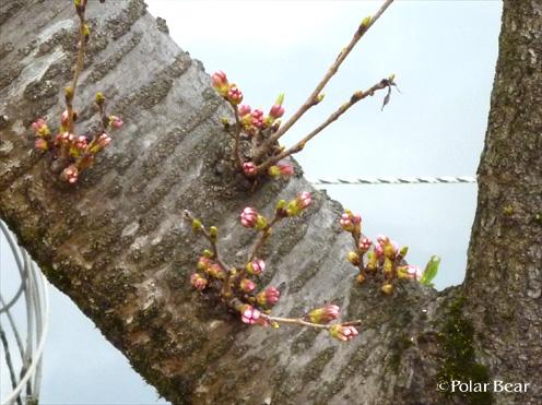 井の頭公園 桜 ツボミ ポーラベア