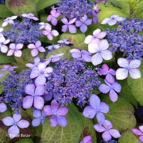 千鳥ヶ淵公園の紫陽花