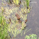 善福寺川の親子鴨