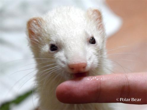 フェレット(ferret)
