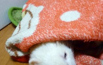 フェレット ferret