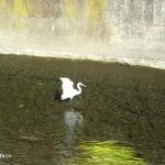 善福寺川の白鷺