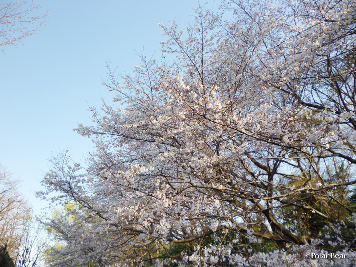 神田川 久我山駅富士見ヶ丘駅間の桜