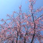 桜 2017年 所沢