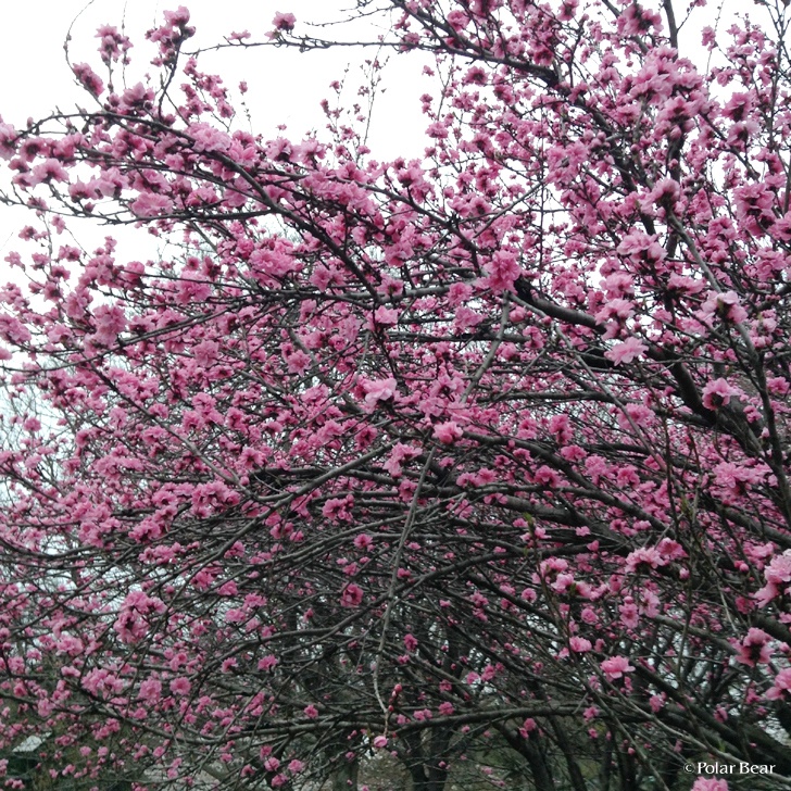 井の頭公園 花桃