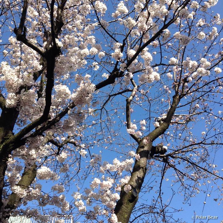 西荻窪 桜