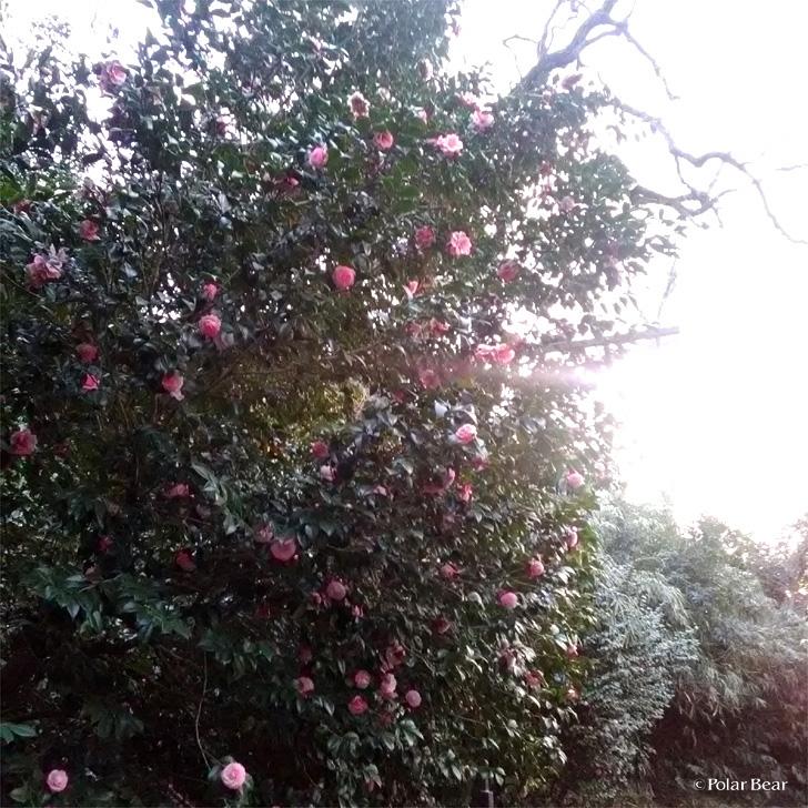 乙女椿 井の頭公園 ポーラベア