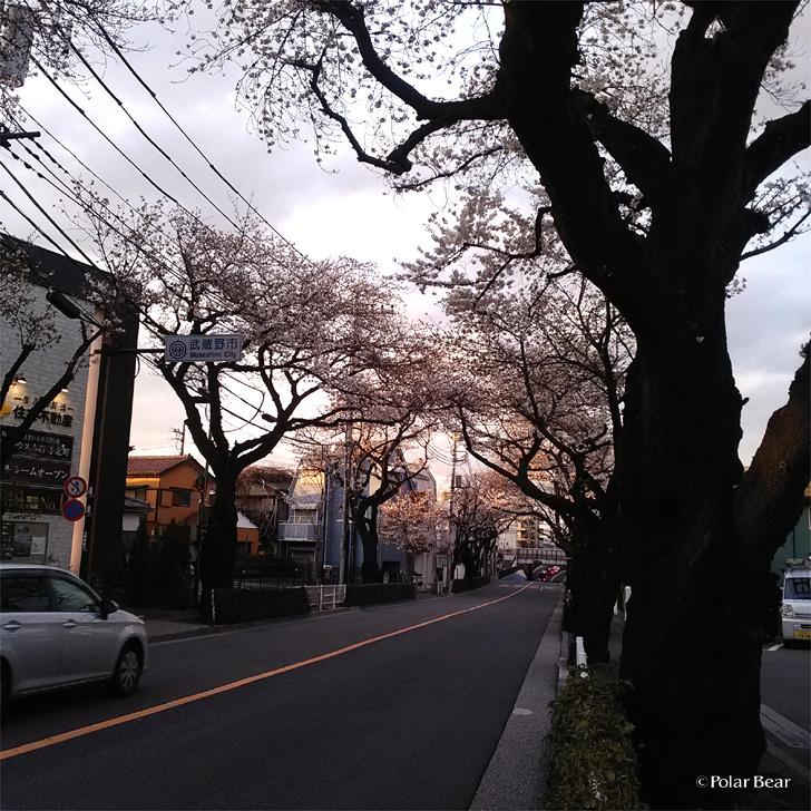 2018年 桜 三鷹 ポーラベア