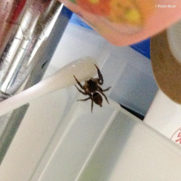 アダンソンハエトリ 蜘蛛 ポーラベア