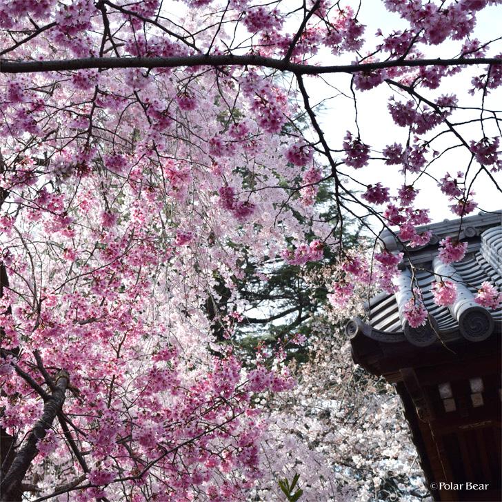 2018年 桜 新井薬師さん ポーラベア