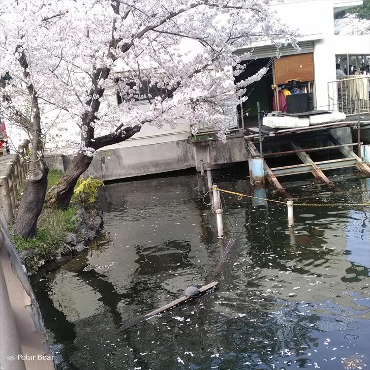 2018年 桜 井の頭公園 亀 ポーラベア