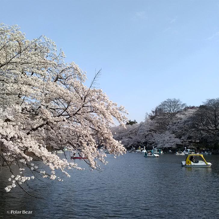 2018年 桜 井の頭公園 ポーラベア