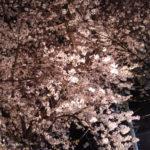 2018年 桜 夜桜 ポーラベア