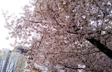 2018年 桜 赤坂 ポーラベア