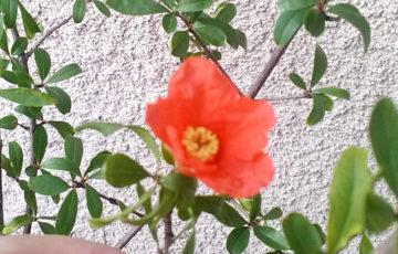 ザクロの花 ポーラベア
