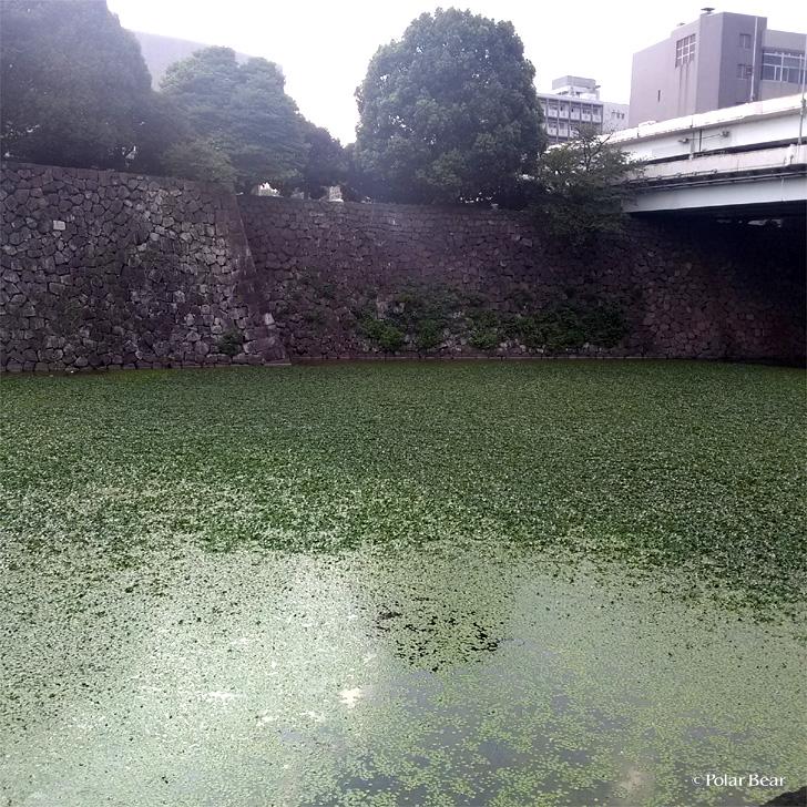竹橋 清水濠 ポーラベア