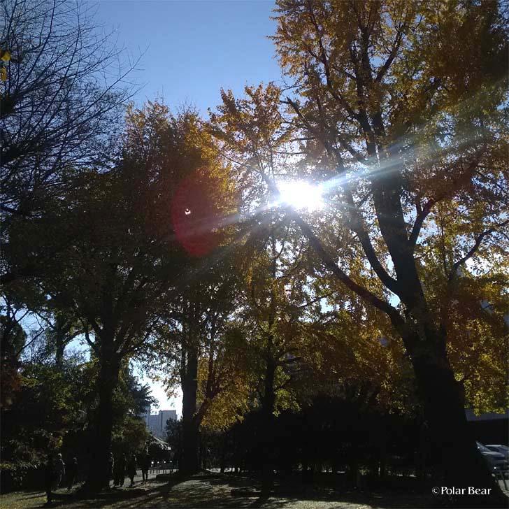 上野公園 紅葉 イチョウ 銀杏 黄色 ポーラベア