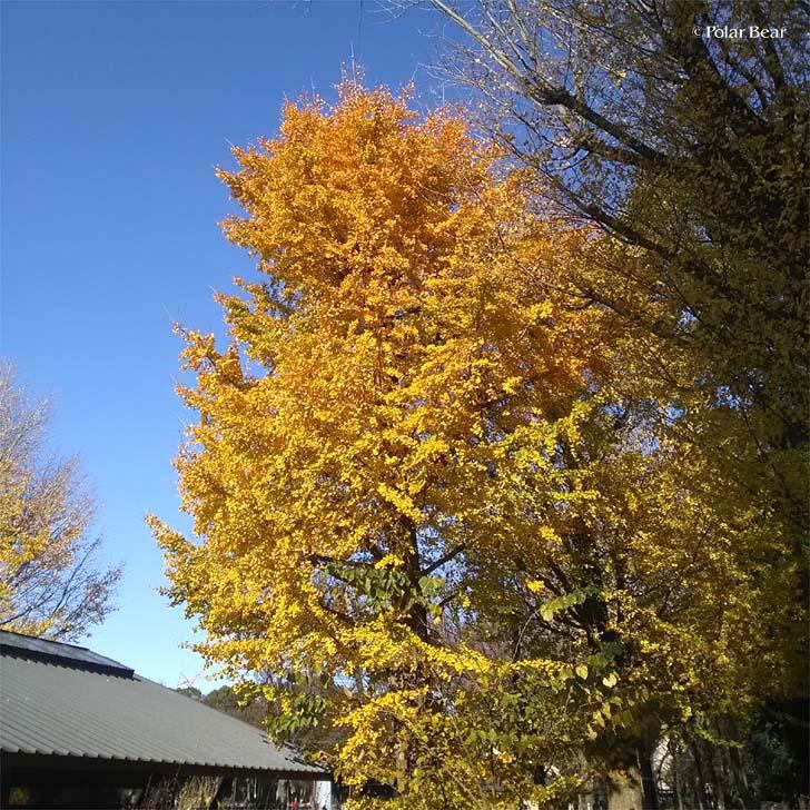 上野公園 紅葉 イチョウ 銀杏 黄色 青空 ポーラベア
