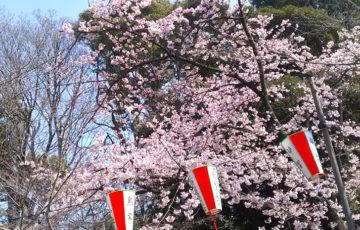 上野公園 桜 開花 お花見 ポーラベア