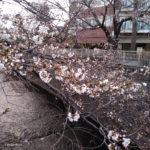 新宿 中野 神田川 大東橋 だいとうばし 桜 ポーラベア 散策