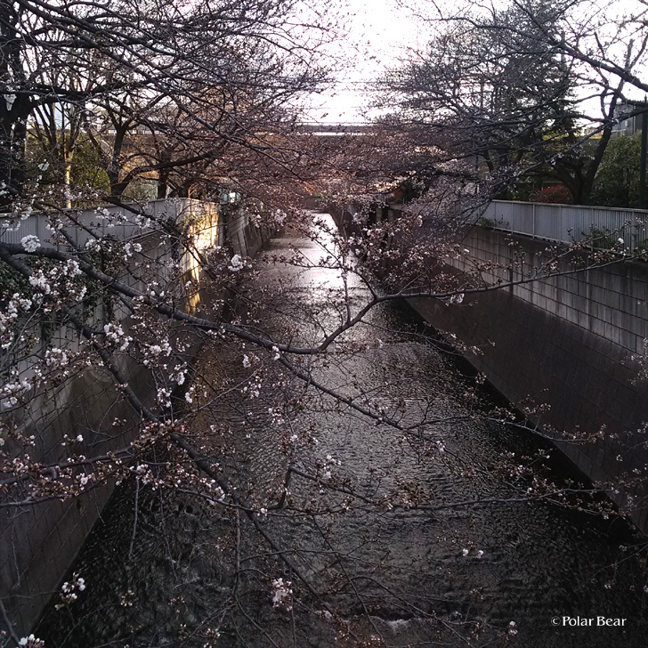 新宿 中野 神田川 大東橋 だいとうはし 桜 ポーラベア 散策