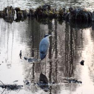 吉祥寺 井の頭公園 蒼鷺 アオサギ 井の頭池 湿地 泥地 散策 ポーラベア