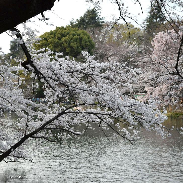 吉祥寺 井の頭公園 桜 井の頭池 散策 ポーラベア