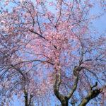 所沢 桜 散策 ポーラベア