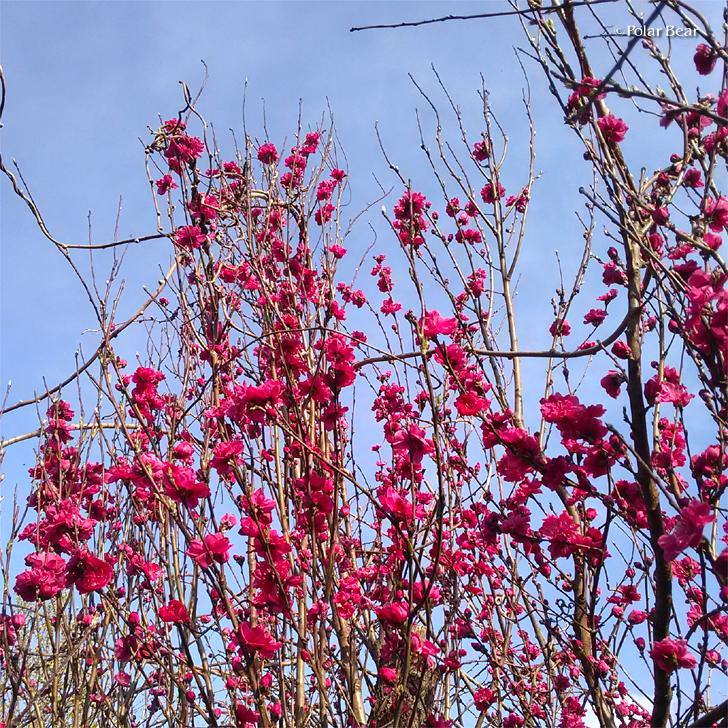 所沢 花桃 散策 ポーラベア