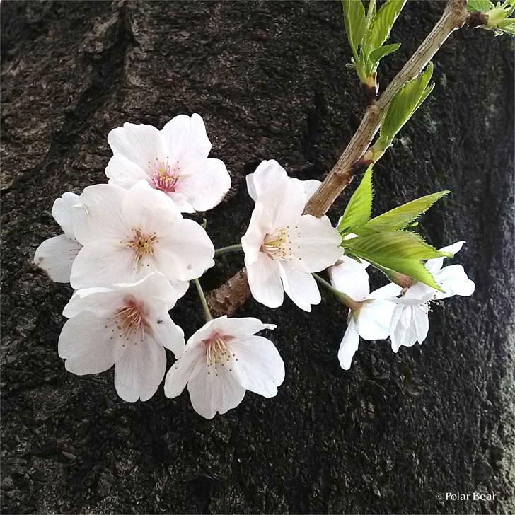 桜 2019年 ポーラベア