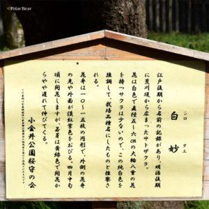 桜 小金井公園 東京都立小金井公園 白妙 シロタエ 2019年 ポーラベア