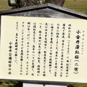 小金井薄紅桜(二世)コガネイウスベニ 桜 小金井公園 東京都立小金井公園 2019年 ポーラベア