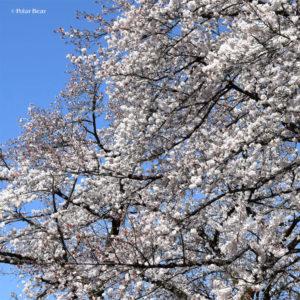 桜 小金井公園 東京都立小金井公園 2019年 ポーラベア