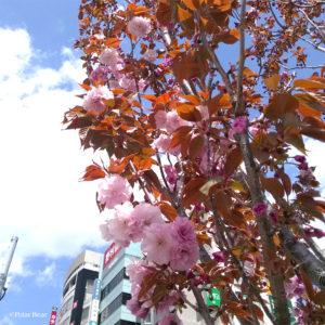 桜 中野 中野駅前 中野通り 八重桜 2019年 ポーラベア