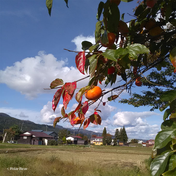新潟県 南魚沼市 柿 秋 風景 ポーラベア