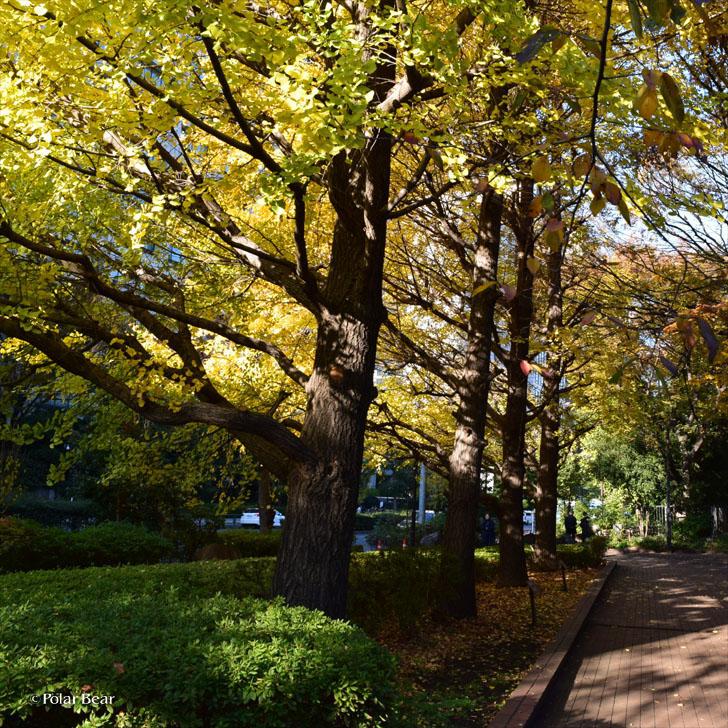 郷土の森 日比谷公園 東京都の木 神奈川県の木 イチョウ ポーラベア 紅葉 銀杏