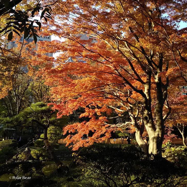日比谷公園 ポーラベア 紅葉 銀杏 紅葉狩り