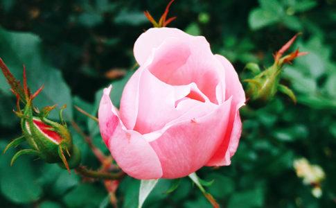 ポーラベア 株式会社ポーラベア バラ 薔薇 rose