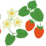 イチゴの日 1月15日 ポーラベア