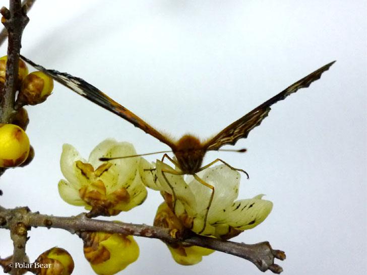 ロウ梅にとまるツマグロヒョウモン